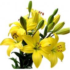 Желтые лилии от 9 штук